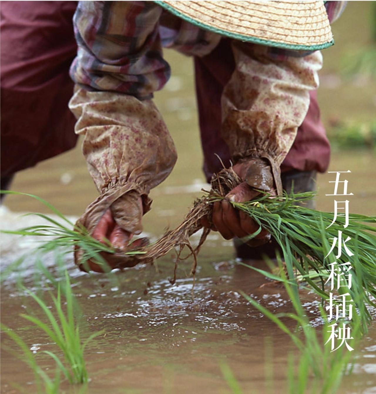 这个空口能吃三碗的大米,原来是跟螃蟹一起长大的~
