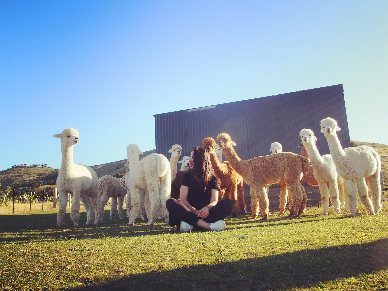 别人间隔年在潇洒,我在新西兰照顾100头飞奔的草泥马