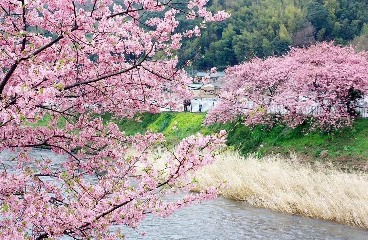 东瀛寻樱花,从南到北,路线你想好了吗?