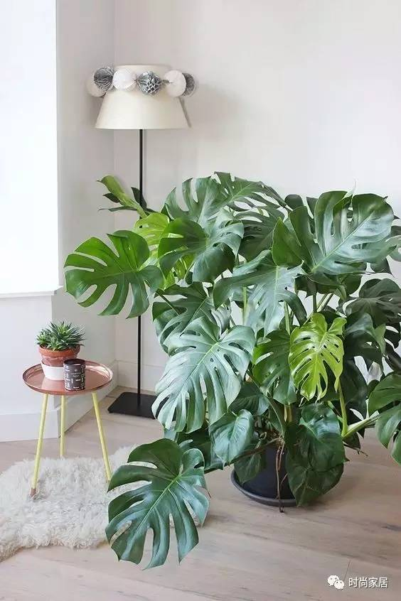 清新文艺有格调的植物,非龟背竹莫属