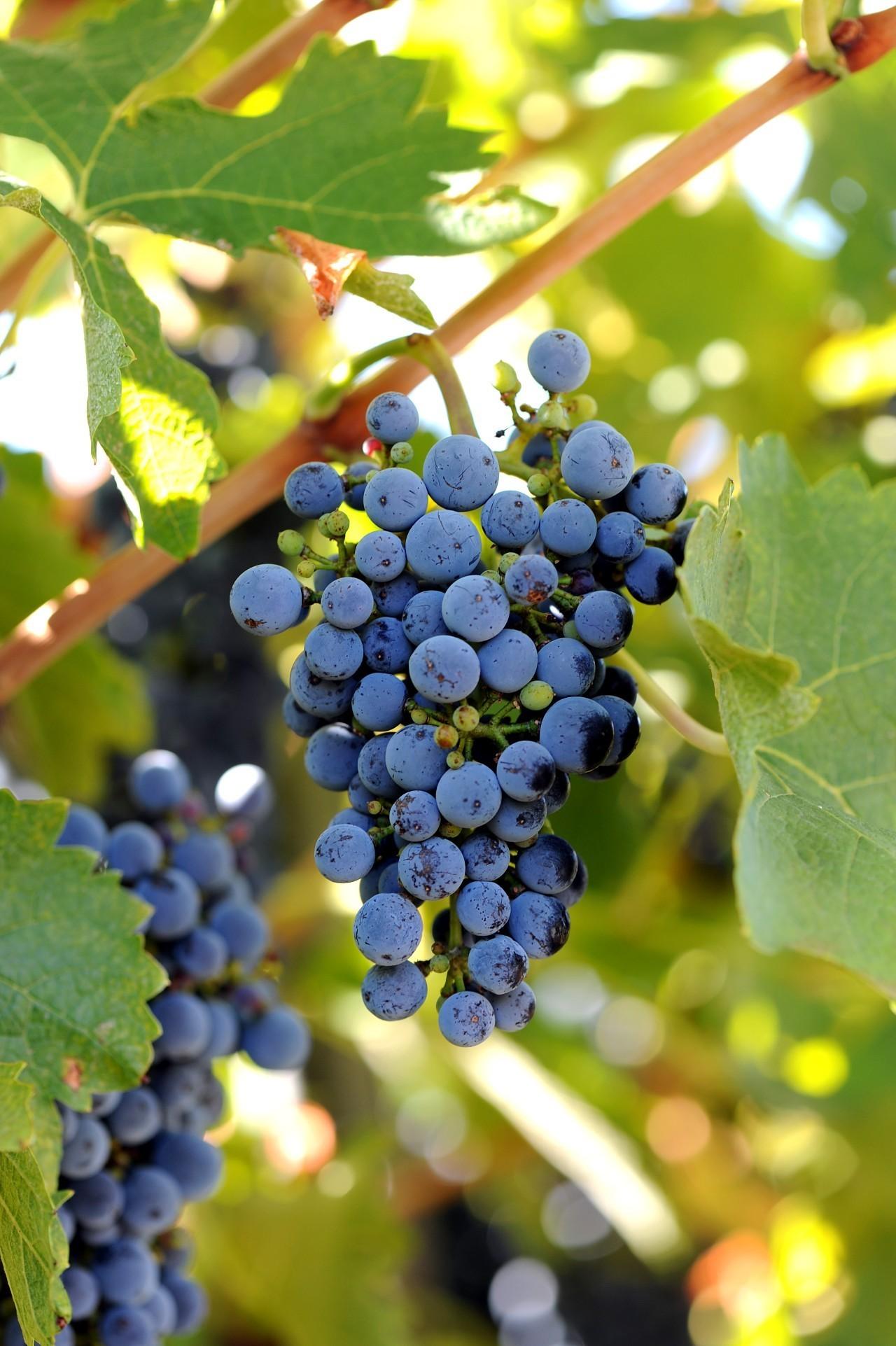 没有白葡萄酒的葡萄酒世界注定是不完美的