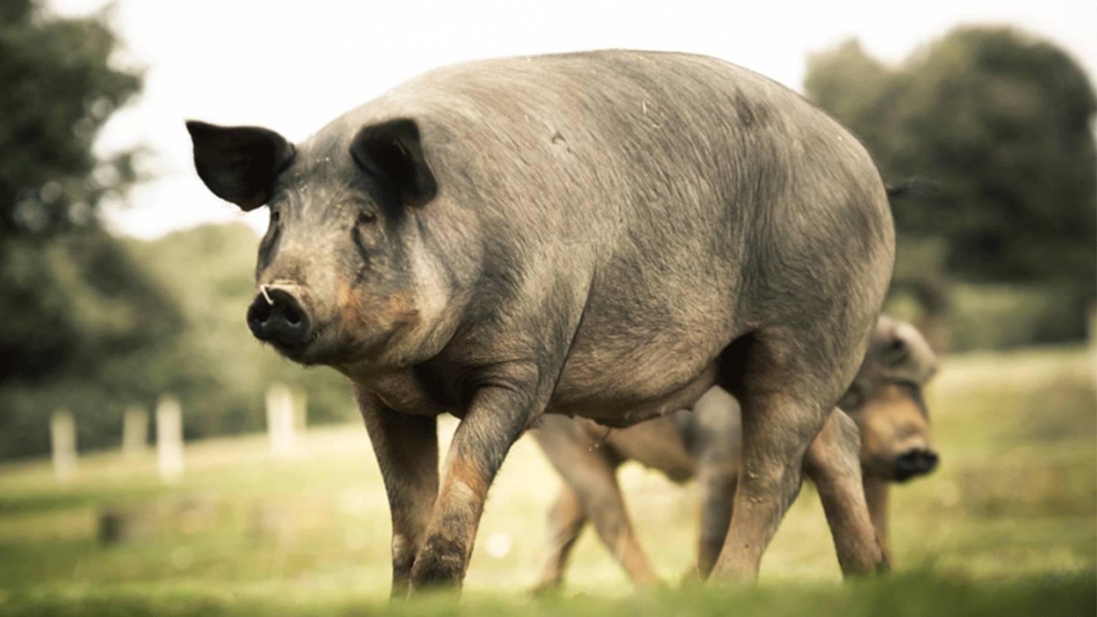 一只猪的最高荣誉,就是被做成伊比利亚火腿